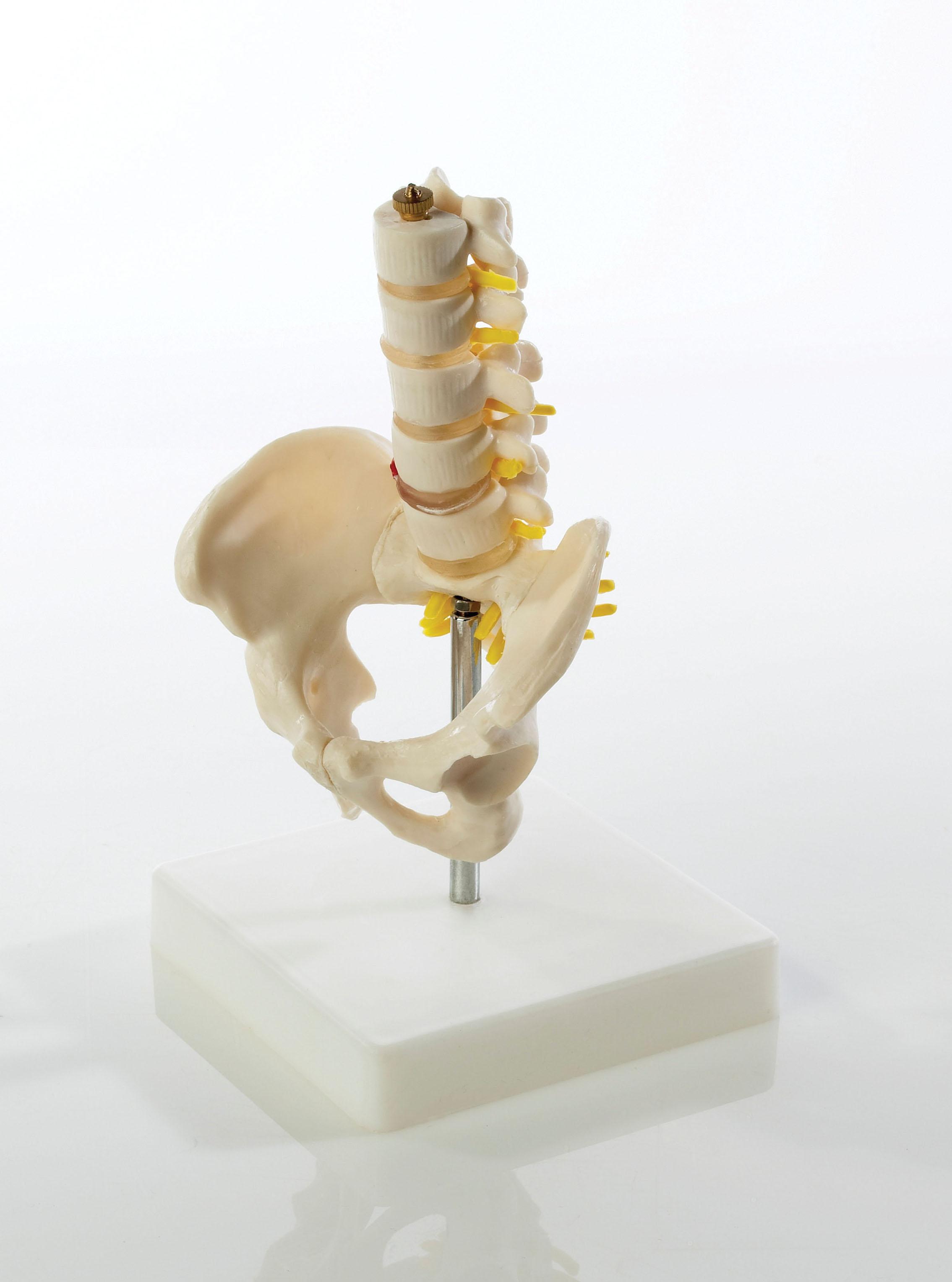 Colonne vertebrale et bassin