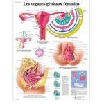 Les organes génitaux féminins
